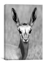 Adolescent Springbok Male, Canvas Print