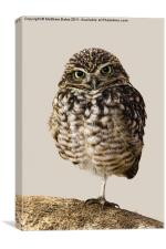Little Owl (Athene Noctua), Canvas Print