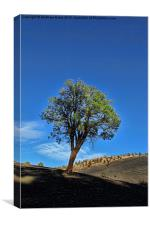 Sunset Crater Volcano tree, Canvas Print
