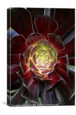 Purple Succulent, Canvas Print