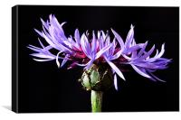 Cornflower - Bachelor's Button, Canvas Print