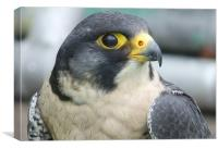 Peregrine Falcon, Canvas Print