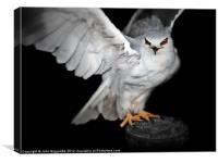 Black-shouldered Kite, Canvas Print