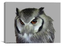 Southern white-faced owl, Canvas Print