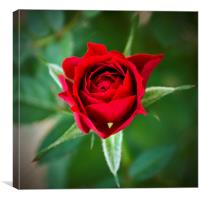 A Rose for My Rose, Canvas Print