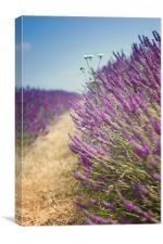 Lavender Field in Summer, Canvas Print