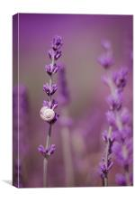 Snail on Lavender, Canvas Print