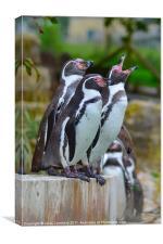 Pick Up A Penguin, Canvas Print