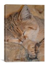 Sleeping Sand Cat