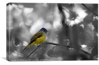 Grey headed canary Flycatcher, Canvas Print