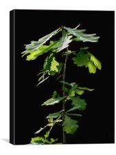 Young oak, Canvas Print