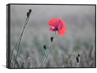 poppy in early morning light, Canvas Print