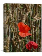 Poppy in the sun, Canvas Print