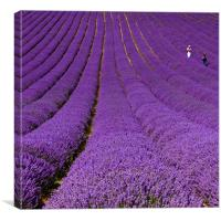 Walking in lavender, Canvas Print