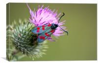Six spotted Burnet Moth, Canvas Print