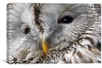 Ural Owl, Canvas Print
