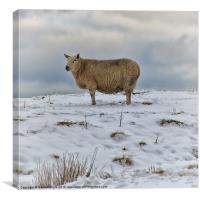 Sheep in Snow, Canvas Print