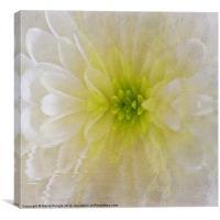 White Chrysanthemum, Canvas Print
