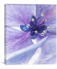 Lacecap Hydrangea, Canvas Print