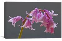 Pink Hybrid Bluebell Flowers, Canvas Print