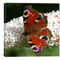 Peacock Butterfly On Buddleia, Canvas Print