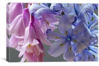 Hybrid Bluebell Flowers, Canvas Print