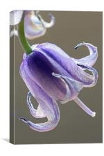Hybrid Bluebell Flower, Canvas Print