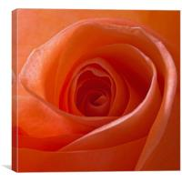 Orange Rose Flower, Canvas Print