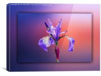 Iris, Canvas Print
