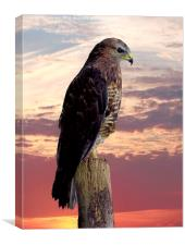 Peregrine Falcon , Canvas Print