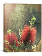 Bottle Brush Plant, Canvas Print