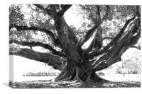 Ficus Tree, Canvas Print