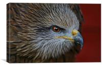 Indian Black Kite