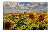 Sunflowers fields, Canvas Print