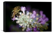 Bee on a lavender flower, Newark, Notts.