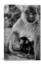 Gibraltar barbary macaque, Canvas Print