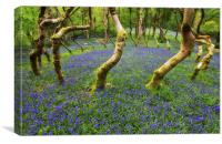 Bluebells in a wood, Canvas Print