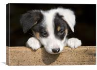 Sheep dog puppy, Canvas Print