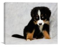Chief the Bernese mountain dog 2, Canvas Print
