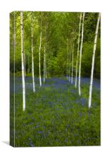 Birch trees and bluebells, Canvas Print