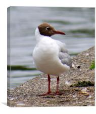 Brown Headed Gull, Canvas Print