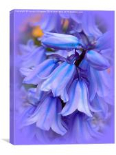 Bluebells from the Garden, Canvas Print