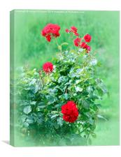 Last of the Summer Roses , Canvas Print