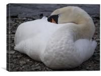 Sleeping Swan, Canvas Print