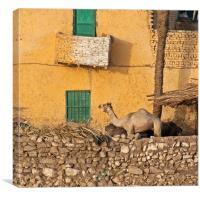 Camel on a balcony!, Canvas Print