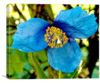 Himalayan Blue Poppy, Canvas Print