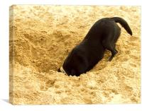 Labrador Digging in Sand, Canvas Print