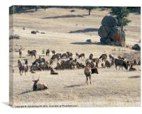 Elk in Estes Park, Colorado, Canvas Print