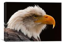 Bald Eagle (Haliaeetus leucocephalus), Canvas Print
