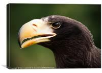 Steller's Sea Eagle (Haliaeetus pelagicus), Canvas Print